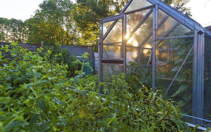 Knoblauchsrauke im Garten anpflanzen